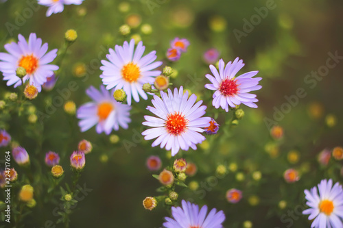 Foto op Canvas Bloemen autumn or summer small flowers. Asters. floral background.