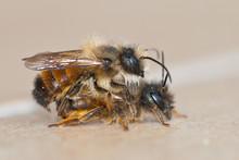Red Mason Bees (Osmia Bicornis...