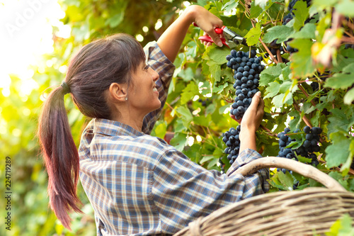 Stampa su Tela Happy smiling young woman picking bunches of grapes
