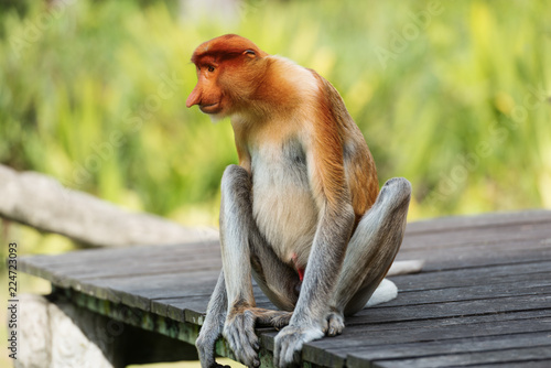 Fotografie, Obraz  Proboscis Monkey, Nasalis Larvatus or long-nosed monkey, is a reddish-brown arboreal Old World monkey that is endemic to the southeast island of Borneo
