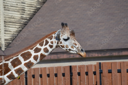 Photo  Giraffe in the outdoors