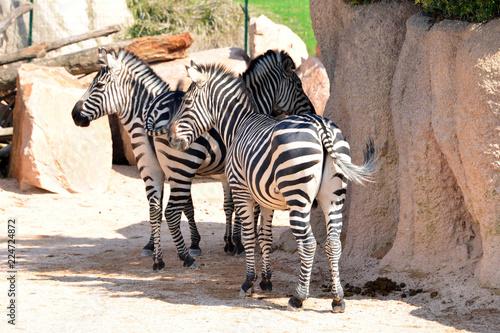 zebra in piedi in primo piano