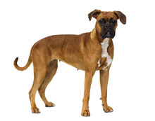 Dog Boxer Breed Stands On A White Background