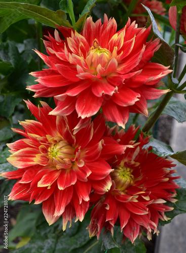 In de dag Dahlia Dahlia rouge