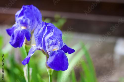 Spoed Foto op Canvas Iris Two blue iris flowers closeup on green garden background