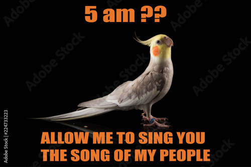 Funny Parrot Meme Cockatiel Portrait 5 Am Let Me Sing You The