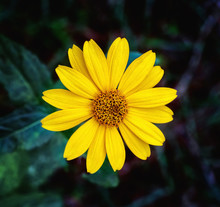 Close View Of Arnica Herb  Bl...