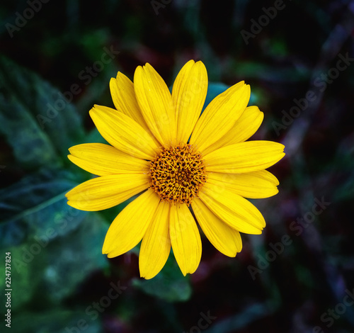Close view of Arnica herb  blossom Canvas Print