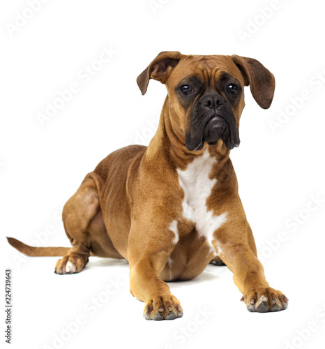Fototapeta dog breeder boxer lying on a white background