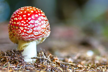 Red Fly Agaric Mushroom Or Toadstool In The Grass. Latin Name Is Amanita Muscaria. Toxic Mushroom. White-dotted Red Mushroom