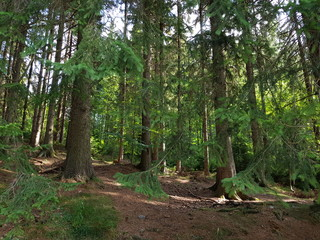 Pine forest with pine needles on the floor. Needles woods.