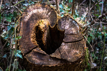 Tree Trunk Cut Off By Loggers With A Heart Shaped Hall In The Middle