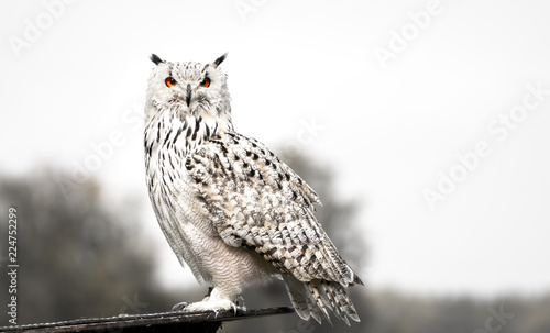 Spoed Fotobehang Uil The snowy owl side portrait
