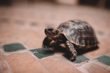Little Tortoise On Floor