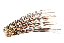 Porcupines Quills Or Spines, I...