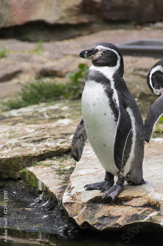 Foto op Canvas Pinguin life and habits of penguins in zoo