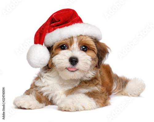 Obraz Happy smiling Havanese puppy dog is wearing a Christmas hat, isolated on white background - fototapety do salonu