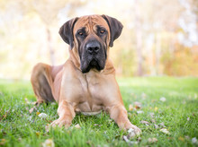 A Boerboel Dog With A Serious ...