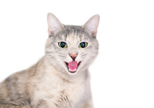 A Domestic Shorthair Cat With Dilated Pupils And Its Mouth Open In A Hiss Or Angry Meow