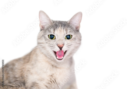 A domestic shorthair cat with dilated pupils and its mouth open in a hiss or ang Wallpaper Mural