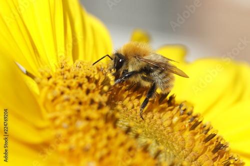 Staande foto Bee biene - hummel