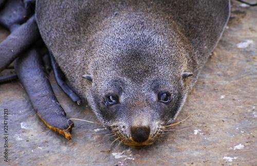 Fotografie, Obraz  Crying Sad Seal Marine Mammal on Beach on Otago Peninsula near Dunedin, New Zeal