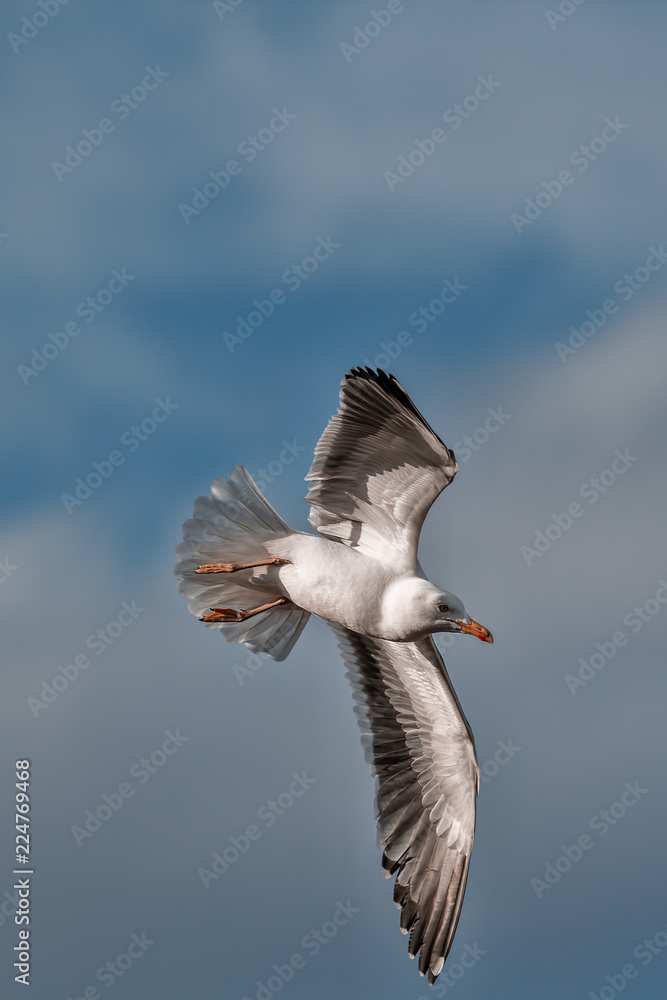 Seagull turning in flight. Gull bird turning with wings outstretched. Solitary bird soaring symbolising freedom.
