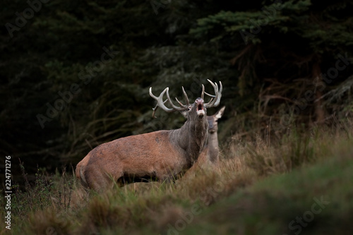 Tuinposter Hert red deer, cervus elaphus, Czech republic