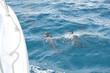 Delfine begleiten ein Boot