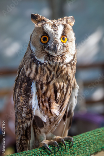 Fotobehang Uil portrait of an eagle owl