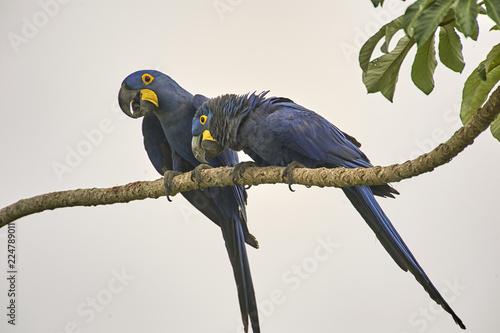 Fotografija  Two Hyacinth Macaw (Anodorhynchus hyacinthinus), Araras Ecolodge,  Mato Grosso,