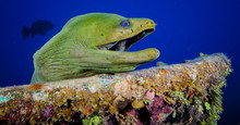 Green Moray Eel At Sunken Wrec...