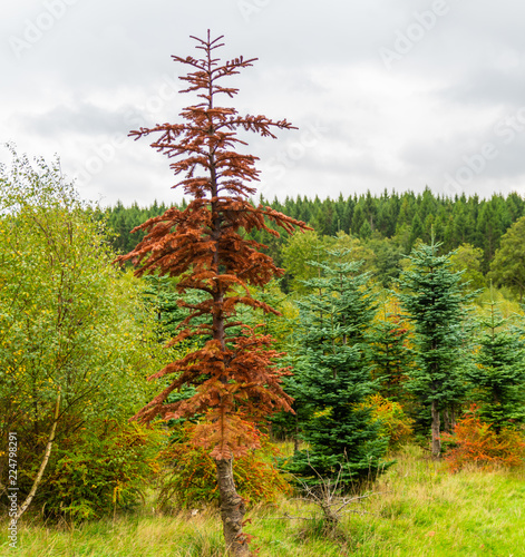 A lonely Fir tree who died and became red of dehydration in autumn