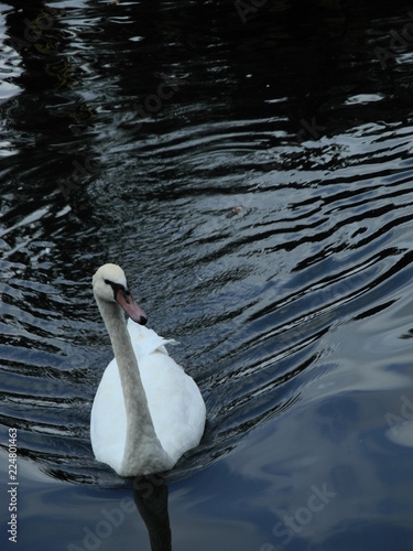 Foto op Plexiglas Zwaan White Swan