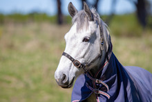 A Grey Horse Wears A Blue Cover To Protect It From The Cold Weather