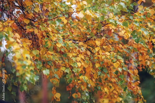 Foto op Plexiglas Herfst Autumn yellow trees nature scene in autumnal park