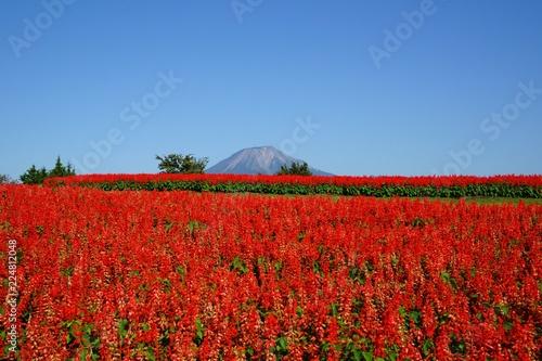 大山(伯耆富士)バックに満開のサルビア