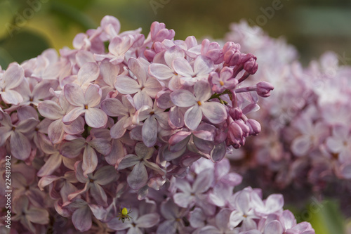 Foto op Canvas Hydrangea branch of lilac in the background in spring day