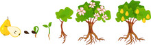 Life Cycle Of Pear Tree. Stages Of Growth From Seed And Sprout To Adult Plant With Fruits