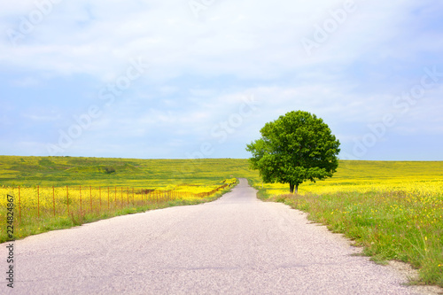 Empty rural road among green fields with yellow flowers and a lonely big green tree with a beautiful round crown on the right side on a blue sky with clouds background