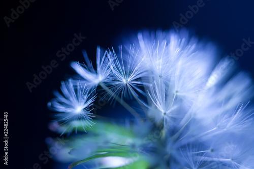 art photo of dandelion seeds close-up on black background