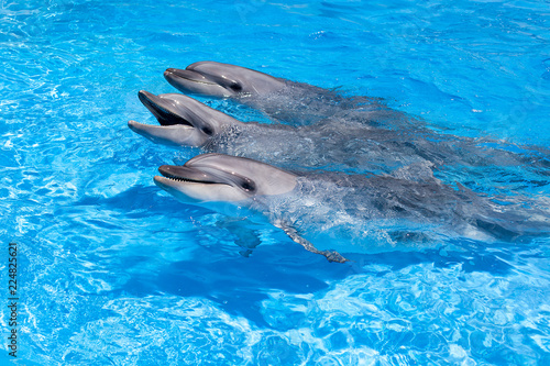 In de dag Dolfijn Three dolphins looking out of the blue water close up