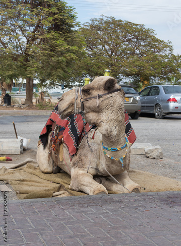 Valokuva  Decoratively  decorated camel with a blanket resting lying waiting for visitors