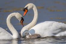 Famille De Cygne Tuberculé (Cygnus Olor - Mute Swan)