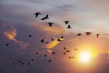 Flock Of  Cormorant Bird Flying Against Beautiful Sun Light Sky