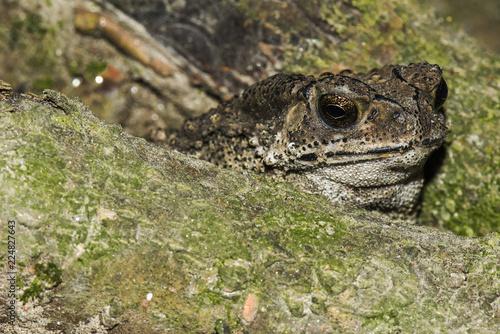Tuinposter Kikker Toad frog . hide out