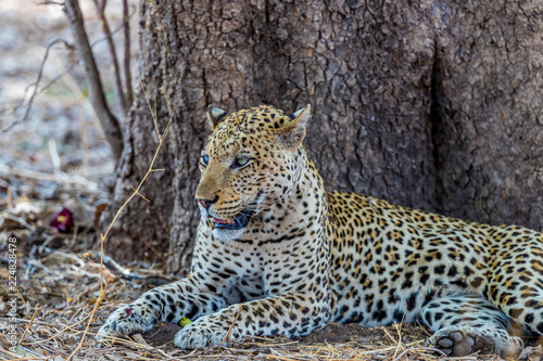 Old male African leopard (Panthera pardus) resting at the base of a tree, South Luangwa, Zambia