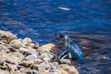Swimming Little Penguin In Water