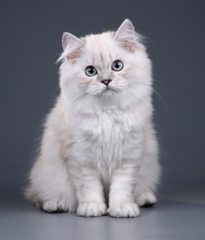 Cute Fluffy British Cat On A G...