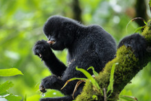 Black Crested Gibbon Eating Squirrel